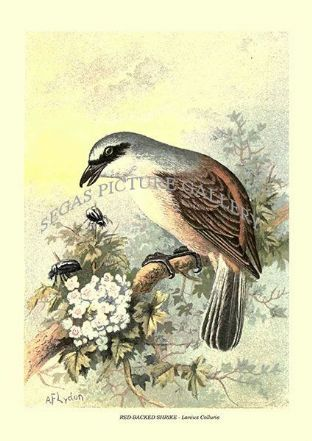 RED-BACKED SHRIKE - Lanius Colluris